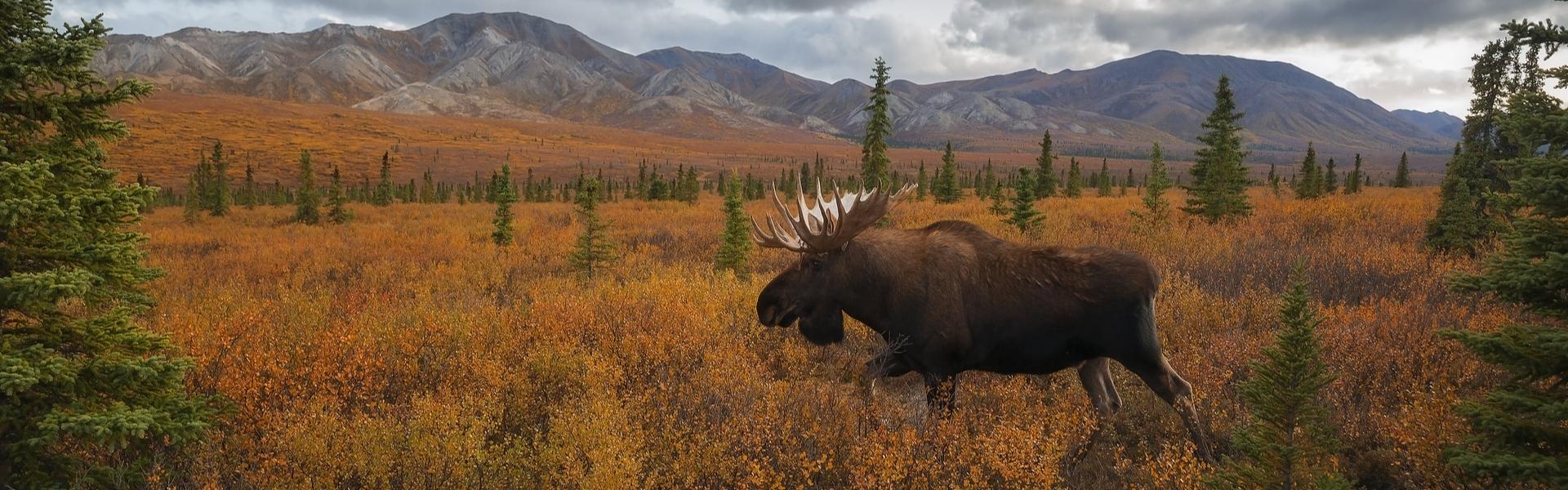 Experience The Best Moose Hunting In Alaska!